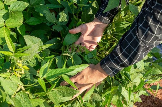 Agronomo che ispeziona le colture di semi di soia che crescono nel campo dell'azienda agricola. concetto di produzione agricola.
