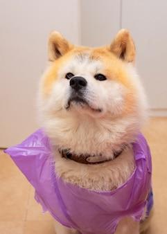 Akita inu cane, bagnato dalla pioggia, con un sacchetto di immondizia impermeabile