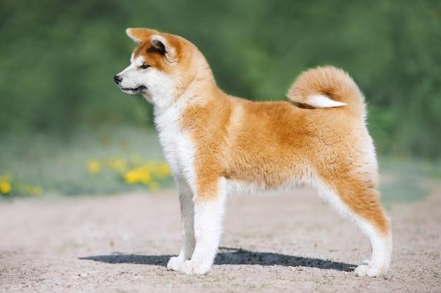 Conformazione del cucciolo di akita inu. cane peloso rosso su sfondo verde