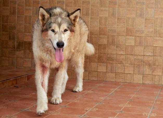 Un cane alaskan malamute che mostra la lingua