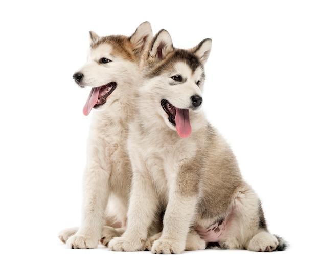 Cuccioli di alaskan malamute seduti e ansimanti isolati su bianco