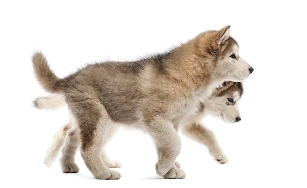 Cuccioli di alaskan malamute che camminano isolati su bianco