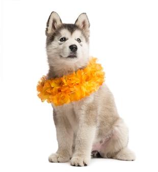 Cucciolo di alaskan malamute seduto e indossa un collare giallo isolato su bianco
