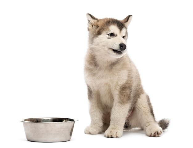 Cucciolo di alaskan malamute seduto con una ciotola isolata su bianco