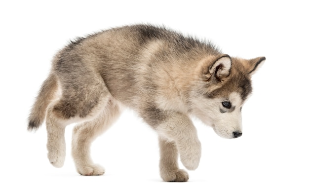 Alaskan malamute cucciolo a piedi isolato su bianco