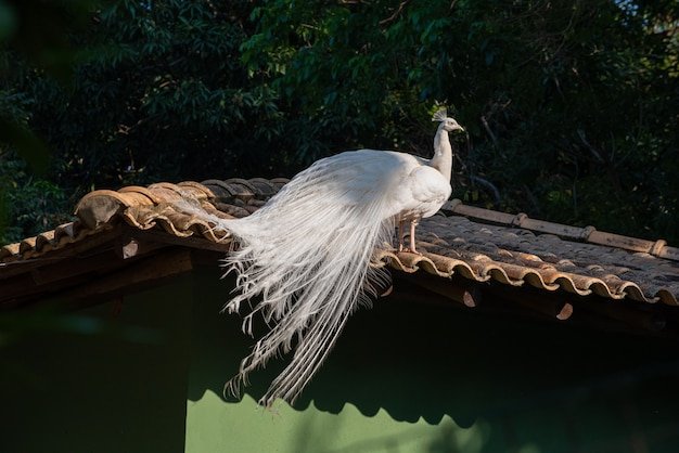 Pavone albino, bellissimo pavone albino che sfoggia il suo piumaggio e ogni dettaglio in natura. luce naturale, messa a fuoco selettiva.