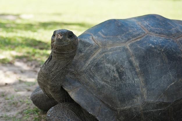 Tartaruga gigante delle seychelles di aldabran. primo piano