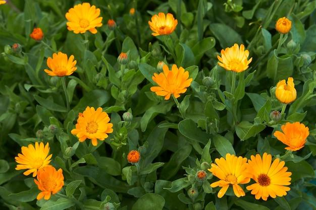 Alendula fiori sfondo. petali arancioni della pianta della calendula, primo piano