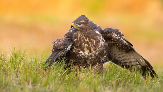 Avvisare la poiana comune a guardia della preda sul campo nella natura primaverile