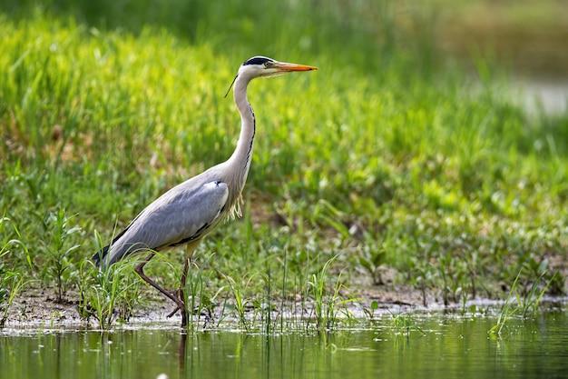 Airone cenerino attento che cammina in acqua sulla riva del fiume con erba verde di estate
