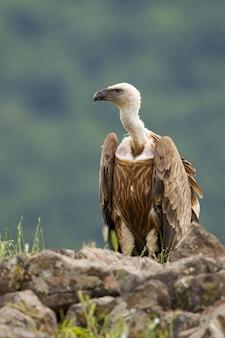 Avvoltoio attento che si siede su un orizzonte roccioso in montagne di estate