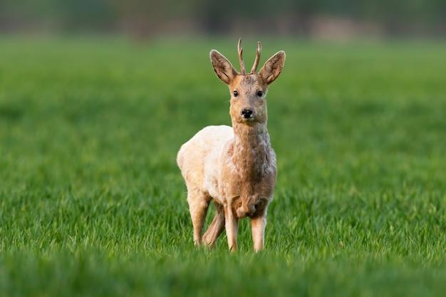 Allerta il capriolo buck con pelliccia bianca che esamina la macchina fotografica sul campo verde in primavera