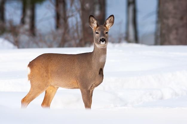 Avvisare il capriolo doe in piedi sul prato nella natura invernale.