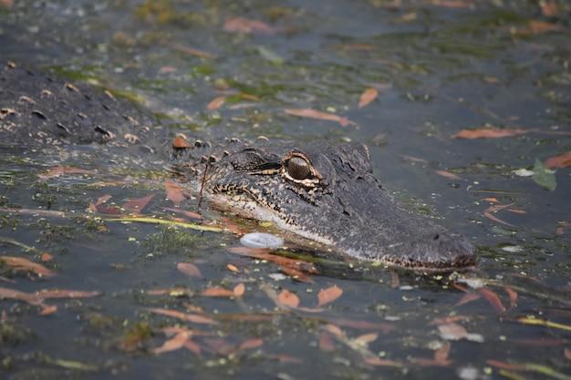 Alligatore tra le foglie nel bayou della louisiana.
