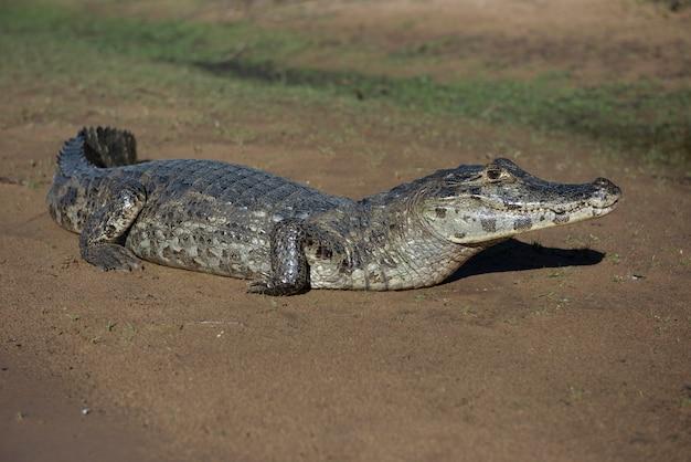 Alligatore nelle zone umide brasiliane, noto come pantanal, durante una giornata di sole