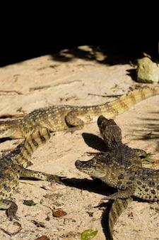 Alligatore jacare do papo amarelo nel parco di rio de janeiro, brasile.
