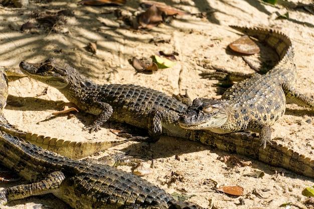 Cuccioli di alligatore (pap alligatore giallo) nel parco di rio de janeiro, brasile.