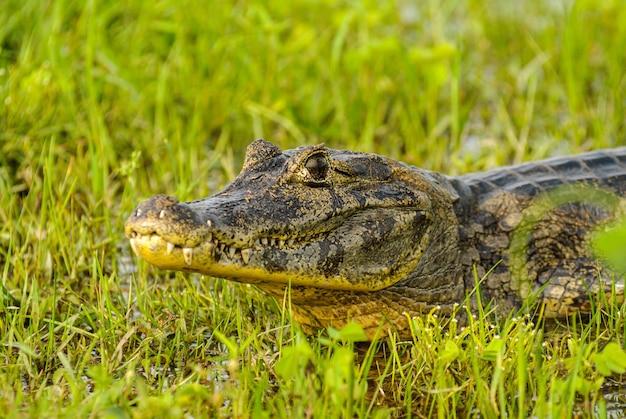 Alligatore in appoggio in una zona umida nel pantanal del mato grosso pocone mato grosso brazil