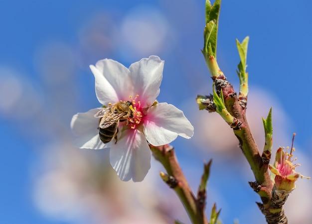 Fiori di mandorla in fiore in un giardino in portogallo. algarve