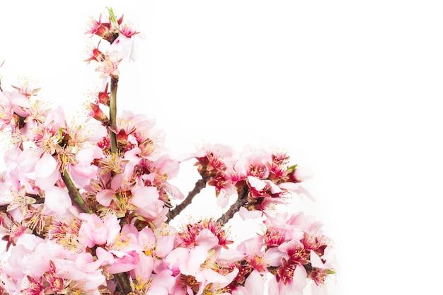 Rami di mandorlo in fiore su uno sfondo bianco