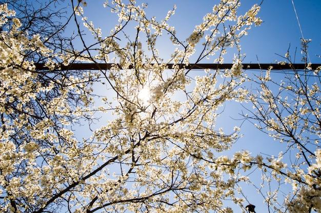 Fiori di mandorlo e ramo, vista albero di primavera, bellissimi fiori