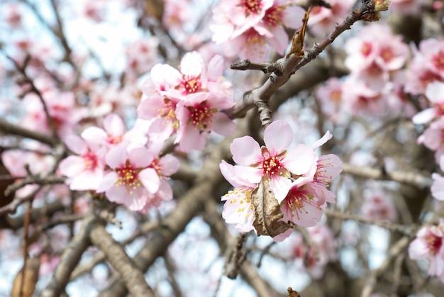 Il mandorlo rosa fiorisce con rami