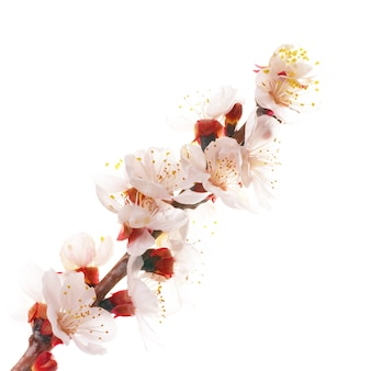 Fiori di mandorla bianchi isolati su sfondo bianco