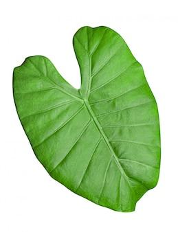 Alocasia macrorrhizos, alocasia odora, bella foglia verde di piante d'appartamento, elemento di design o decorazione.