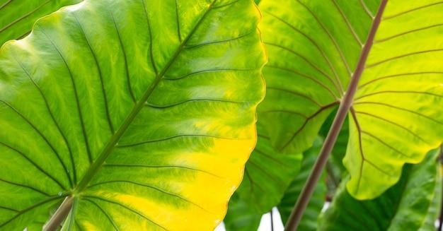 Foglie di alocasia macrorrhizos o giant taro o alocasia gigante