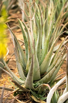 Piantagione di aloe vera-molte piante verdi sull'isola di tenerife, isole canarie, spagna.