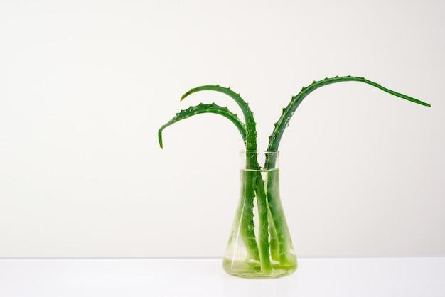 Aloe vera su un bianco in un vaso di vetro con acqua.
