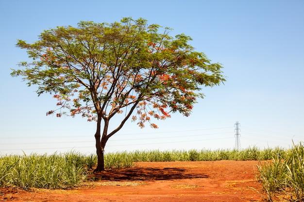 Albero di fiori rosso sgargiante solo di delonix regia sulla strada rurale sulla piantagione di canna da zucchero