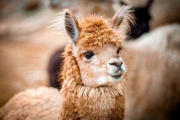 Testa di alpaca da vicino