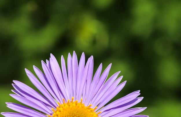 Aster alpino aster alpinus bellissimi fiori viola con un centro arancione
