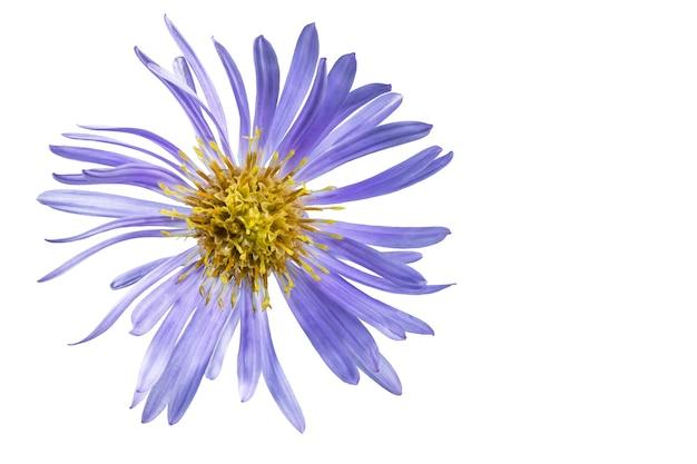 Fiore dell'aster alpino isolato