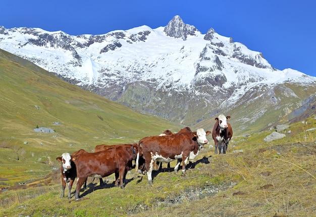 Mucche alpine marroni e bianche in alpeggio in un bellissimo paesaggio di montagna con vetta innevata