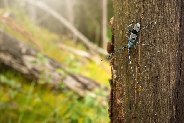 Scarabeo di longhorn alpino che si arrampica sull'albero al sole
