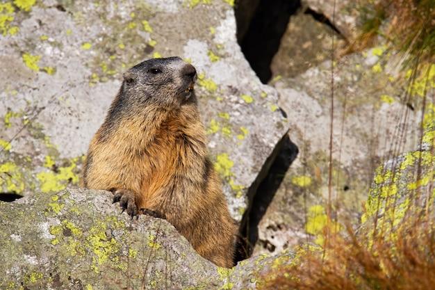 Marmotta alpina che sta sulla roccia durante l'estate.