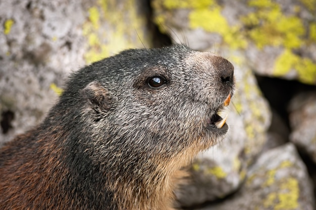 Marmotta alpina che fischia a bocca aperta per avvertire gli altri sulle montagne rocciose