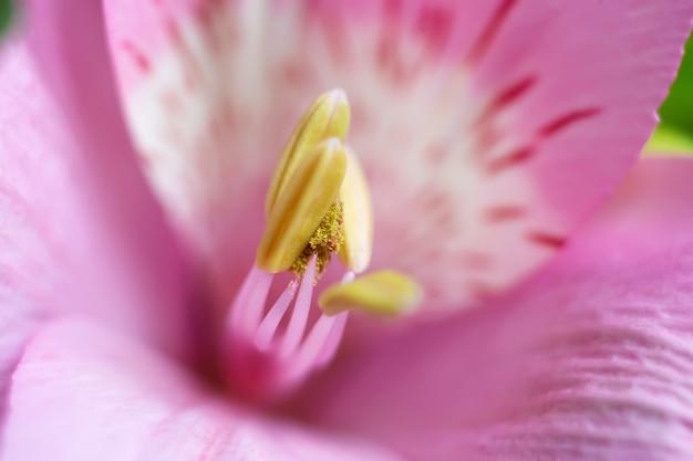 Petali di fiori di alstroemeria con strisce, pistilli e stami, giglio incas peruviano