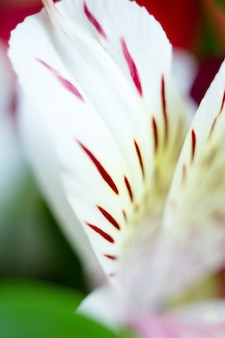 Alstroemeria giglio peruviano petali di fiori macro