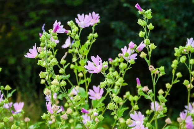 Althaea officinalis, o fiori di malva di palude sulla superficie del prato verde