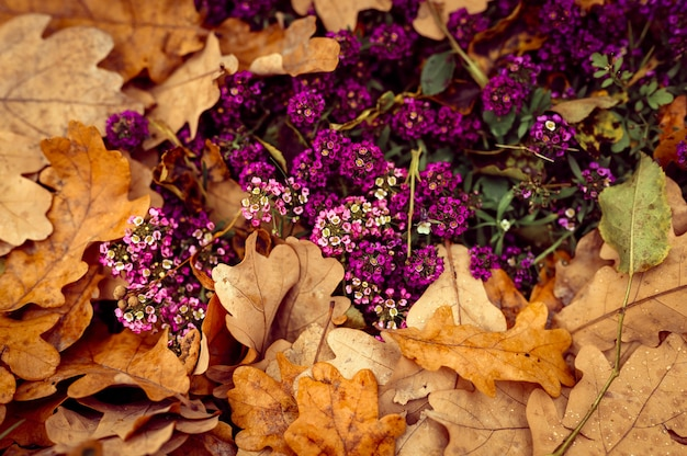 Alyssum fiori viola in piena fioritura tra le foglie di quercia autunnali arancioni cadute nel parco autunnale