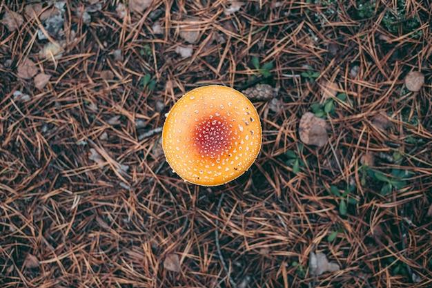 Fungo velenoso dell'amanita nella foresta di autunno