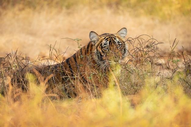 Incredibile tigre del bengala nella natura