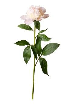 Incredibili peonie in fiore isolati su sfondo bianco