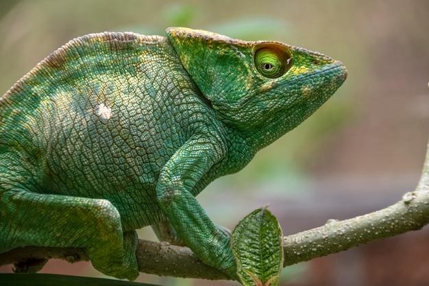 Incredibile camaleonte colorato di parson. endemico del madagascar in bellissimi colori verdi madagascar. africa