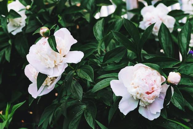Peonie alla crema incredibili. fiori fertili di fioritura bagnati e giovani germogli con il primo piano lungo delle foglie verdi. due belle peonie con spazio di copia. vegetazione ricca con gocce di pioggia in caso di pioggia. guazza.