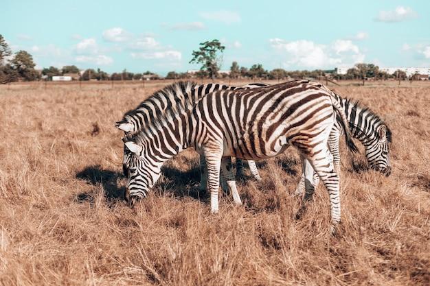 Incredibile famiglia di zebre cammina nel campo in una calda giornata di sole cavallo selvaggio con strisce bianche e nere