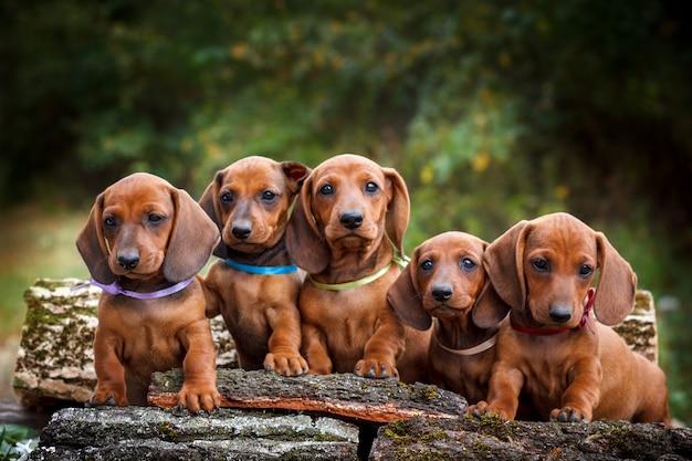 Fantastici cinque cuccioli di bassotto rosso